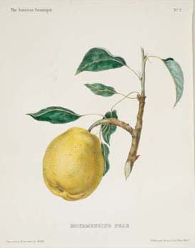 "Alfred Hoffy, ""No. 2. The Moyamensing Pear."" Hand-colored crayon lithograph in The American Pomologist: Containing Finely Colored Drawings, Accompanied by Letter-Press Descriptions of Fruits of American Origin (Philadelphia: Published by A. Hoffy, 1851)."